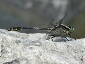 Black-shouldered Spinyleg