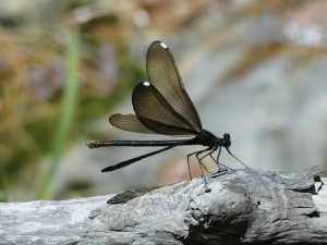 Ebony Jewelwing, female