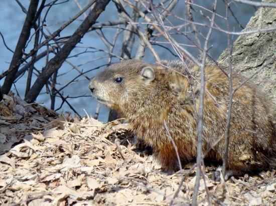 Groundhog in spring