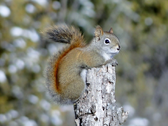 Red Squirrel on a stump