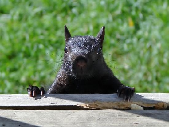 Black Squirrel on my deck
