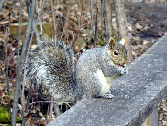 Eastern Grey Squirrel looking for handouts