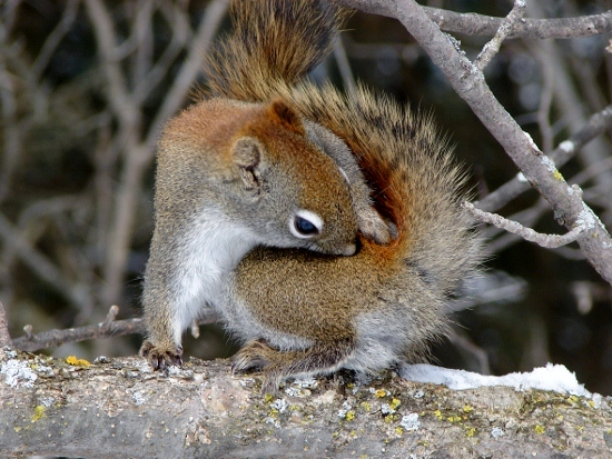 Red Squirrel with an itch
