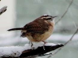 Carolina Wren in the snow