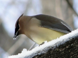Cedar Waxwing eating snow