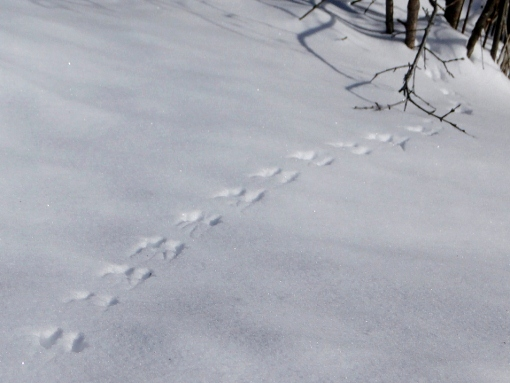Rodent Tracks in the Snow