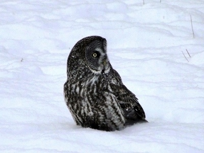 Yes, this is a photo of an owl that was baited.   I would prefer not to use it, but as I took very few pictures of birds this winter I don't have anything better.  Except a Downy Woodpecker, and there are already two photos of woodpeckers on this page.