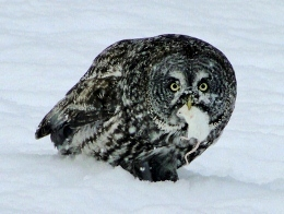 Great Gray Owl with store-bought mouse
