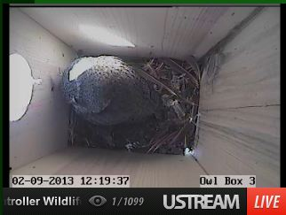 Screech Owl roosting in nest box