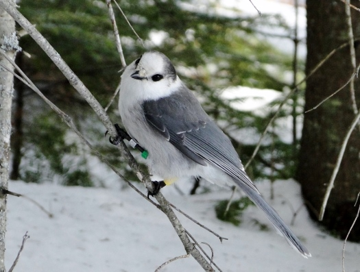 Gray Jay (female)