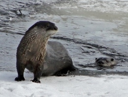 Northern River Otters