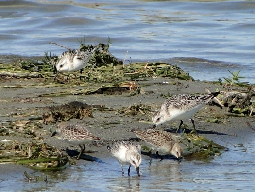 Sanderlings and Semipalmated Sandpipers