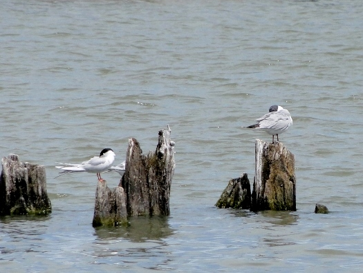 Bonaparte's Gull with Forster's Tern