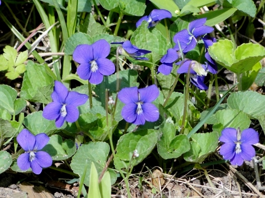 Woolly Blue Violets