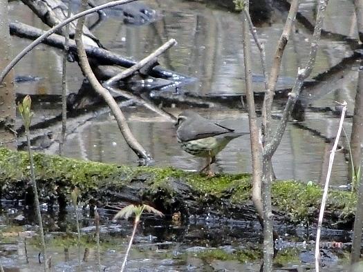 Northern Waterthrush