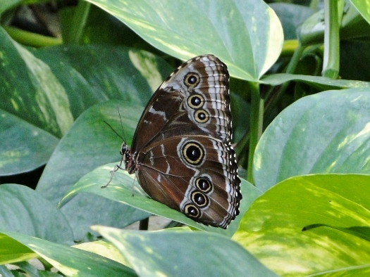 Blue Morpho (Central/South America)