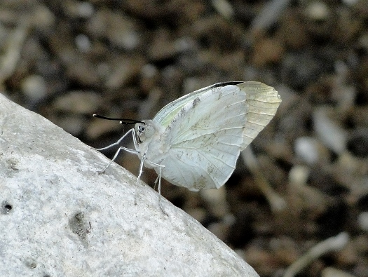 Great Orange Tip (Southeast Asia)