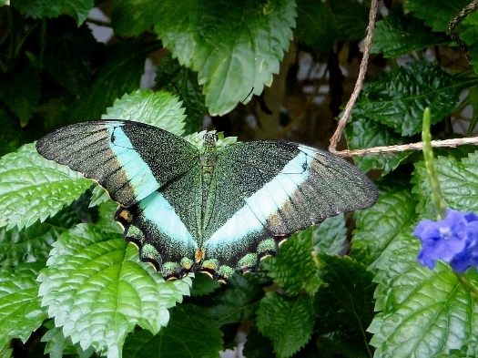 Emerald Swallowtail (Southeast Asia)