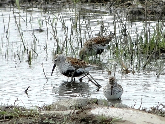 Dunlin with White-rumped Sandpiper