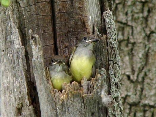 Great-crested Flycatchers
