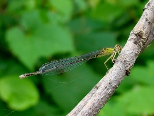 Vesper Bluet (female)