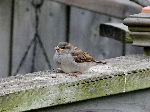 House Sparrow fledgling