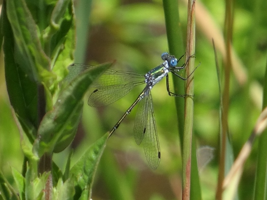 Possible Emerald Spreadwing