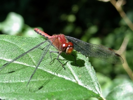 Cherry-faced Meadowhawk