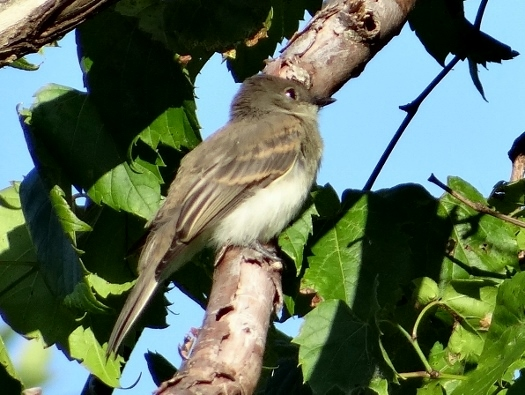 Flycatcher sp.