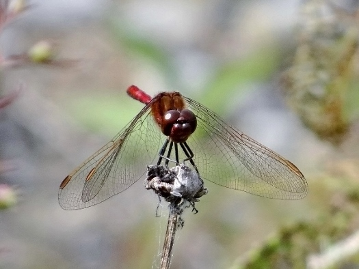 Saffron-winged Meadowhawk
