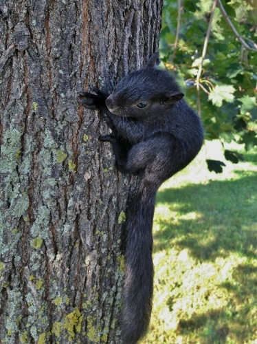 Baby Eastern Gray Squirrel