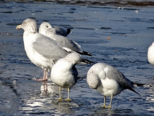 Herring and Ring-billed Gulls