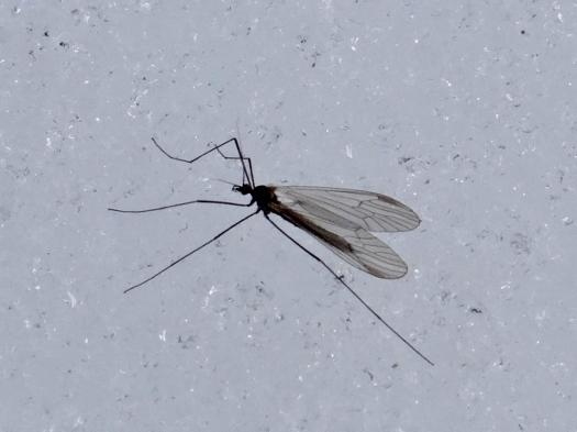Winter Crane Fly