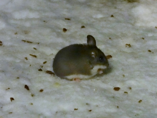 White-footed/Deer Mouse