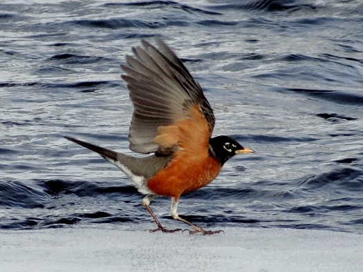 American Robin along the river