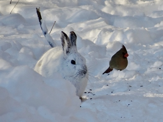 Snowshoe Hare with Northern Cardinal