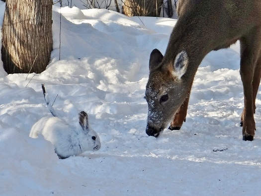 White-tailed Deer and Snowshoe Hare
