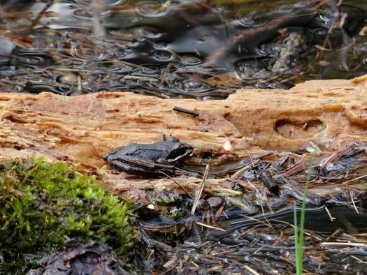 Wood Frog on a Log