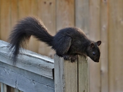 Young Eastern Gray Squirrel
