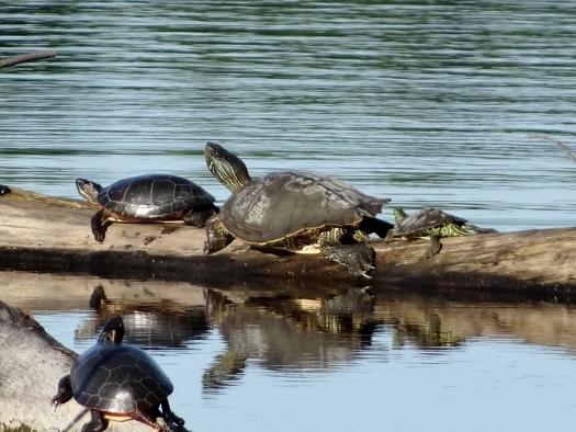 Map and Midland Painted Turtles