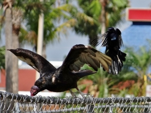 Boat-tailed Grackle attacking Turkey Vulture