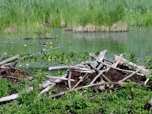 Collapsed Beaver Lodge with Eastern Kingbird