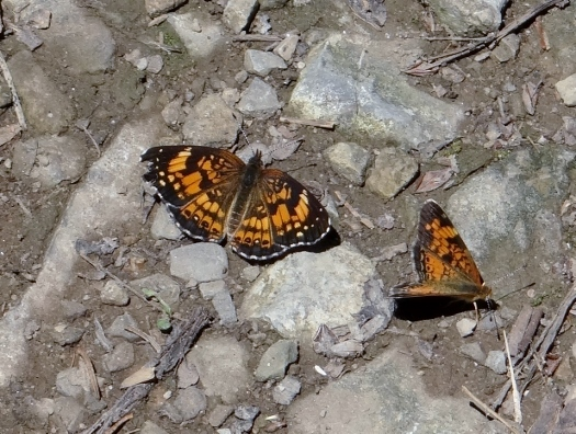 Crescent and Checkerspot
