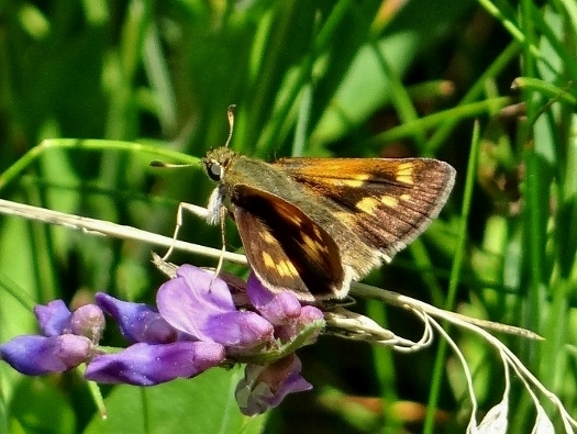 Long Dash Skipper