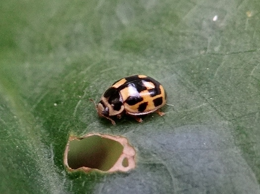 14-Spotted Lady Beetle
