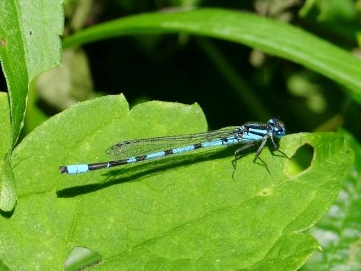 Marsh Bluet