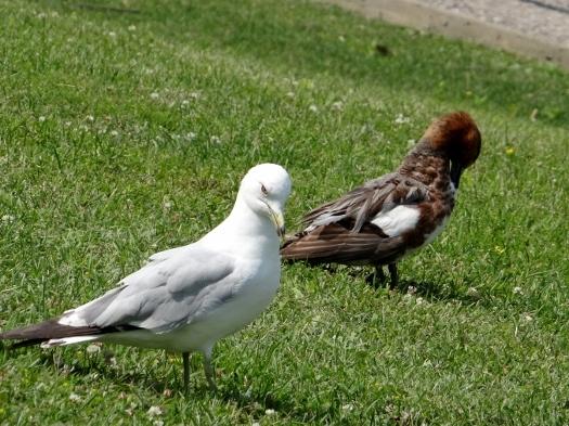 Photobombing Ring-billed Gull