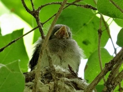 Juvenile American Redstart