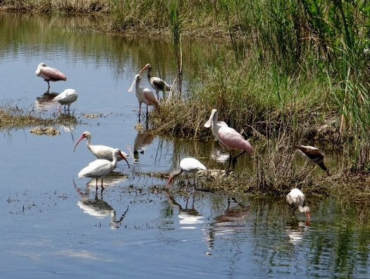 Spoonbills and Ibises