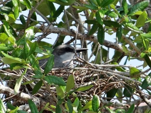 Gray Kingbird on Nest